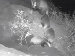 WATCH: Three baby badgers spotted at Dudley Zoo
