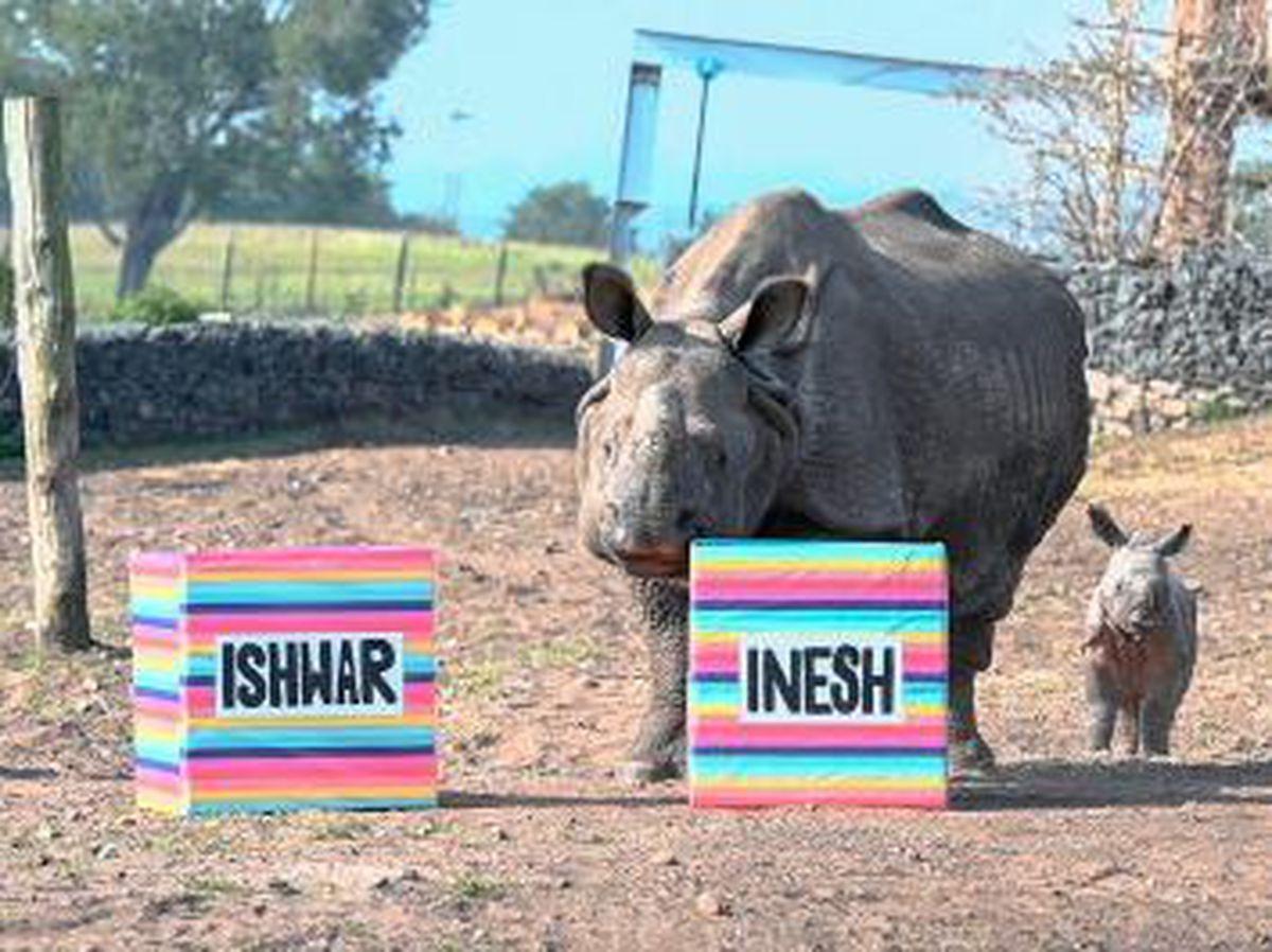 Mother Seto chooses her newborn calf's name at West Midland Safari Park