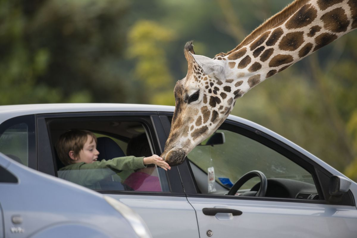 A guest gets up close to a giraffe at West Midland Safari Park