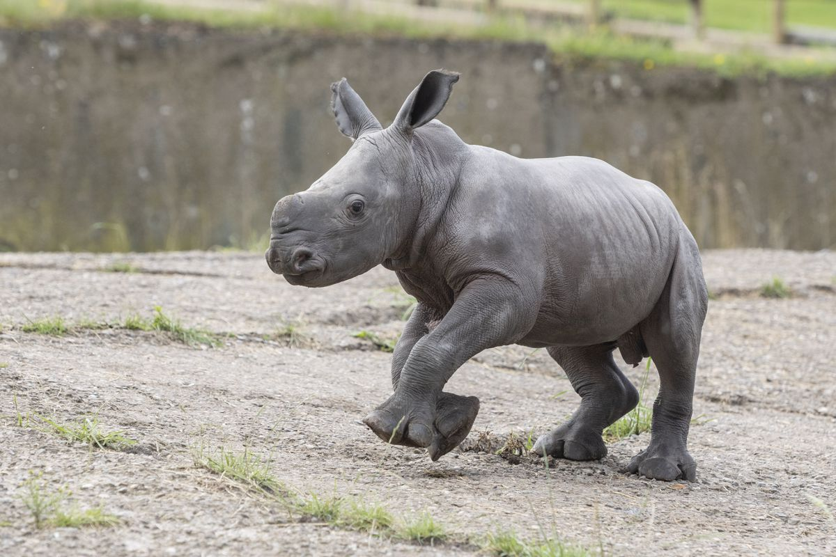 He is the second southern white rhino calf to be born at West Midland Safari Park in six weeks