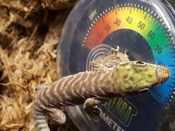 Dudley Zoo welcomes baby geckos