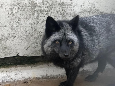 Rare silver fox sighting prompts appeal for information from RSPCA