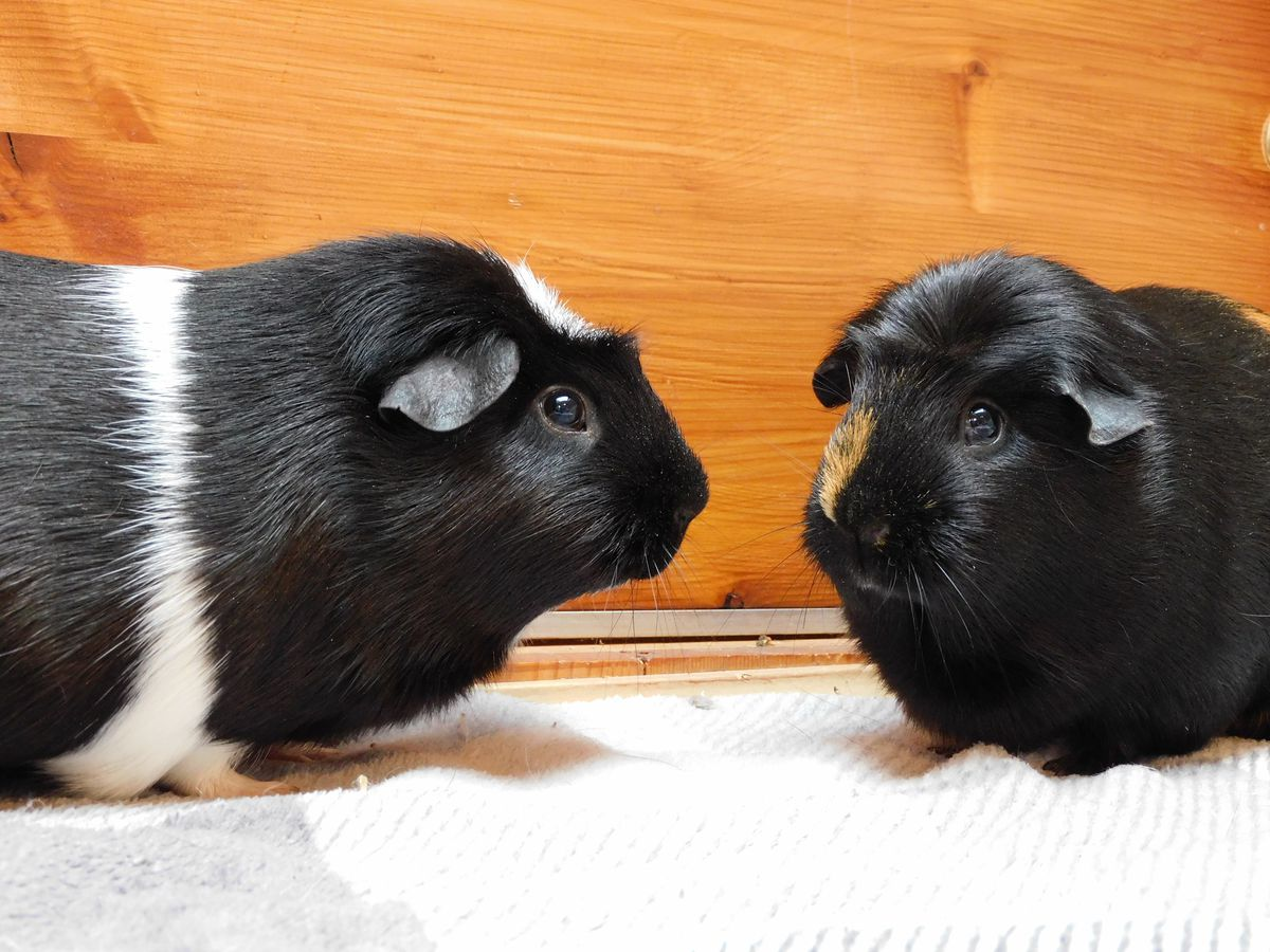 Gin and Tonic were found with 17 guinea pigs believed to be their children. Photo: RSPCA