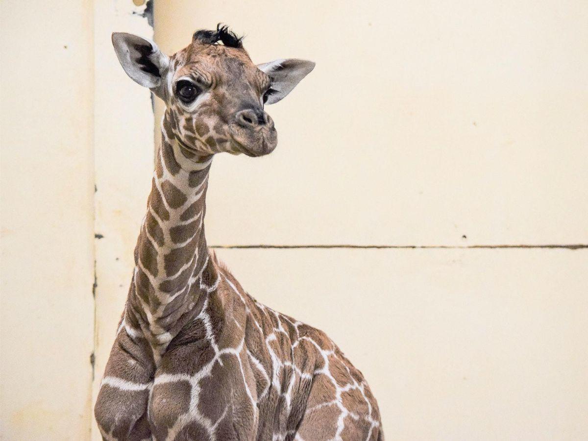 Margaret the giraffe
