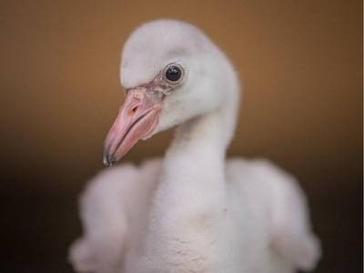 A flock of fluffy Caribbean flamingo chicks has hatched at Chester Zoo