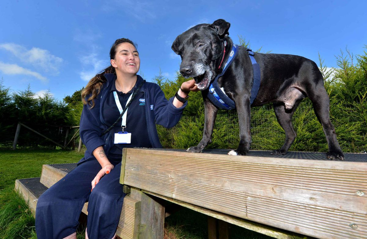 Animal care assistant Demi McCormack, from Dudley, with Massive, the Staffordshire Bull Terrier, who has just come up for rehoming