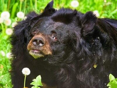 Dudley Zoo's black bear Inca dies aged 38