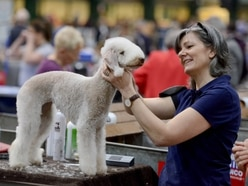 Terriers takeover at Staffordshire County Showground show - with pictures and video