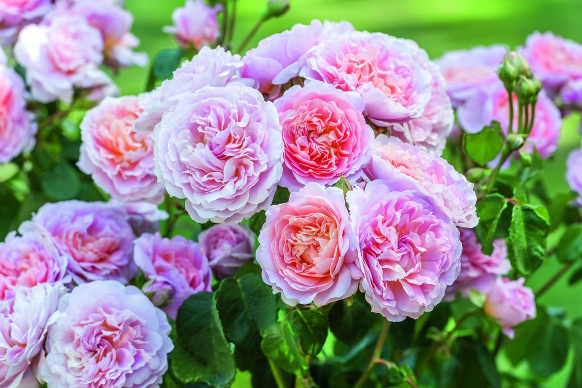 Eustacia Vye, one of the latest flowers from David Austin Roses, will be displayed at the first Chelsea Flower Show since the death of founder David Austin Sr
