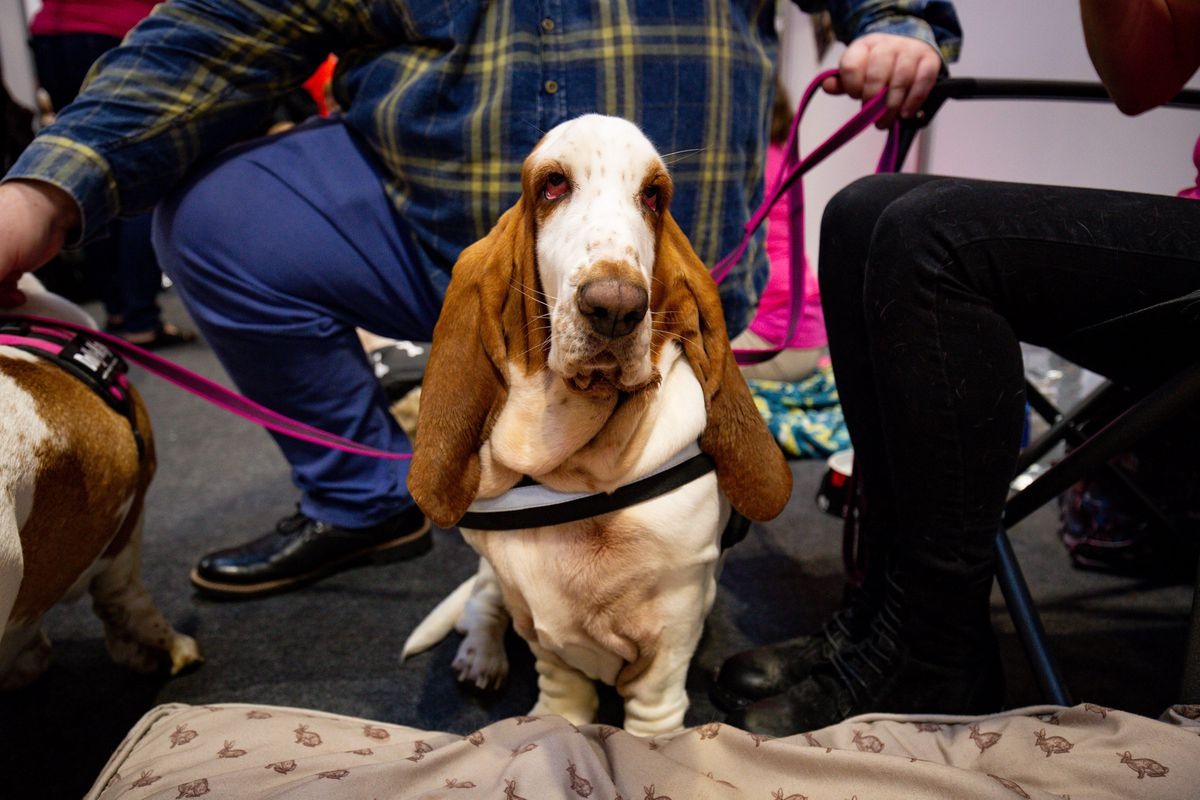 Basset Hounds at the National Pet Show at the NEC, Birmingham. PA Photo. Picture date: Sunday November 3, 2019.  Photo credit should read: Jacob King/PA Wire.