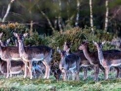 Project to keep deer away from roads expanded to Rugeley