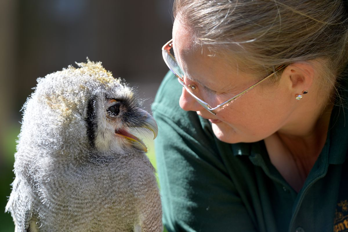 Baby Milky Eagle Owl Rafiki settles into life at Gentleshaw Wildlife Centre in Eccleshall. The eight-week-old is pictured with Jenny Morgan from the centre