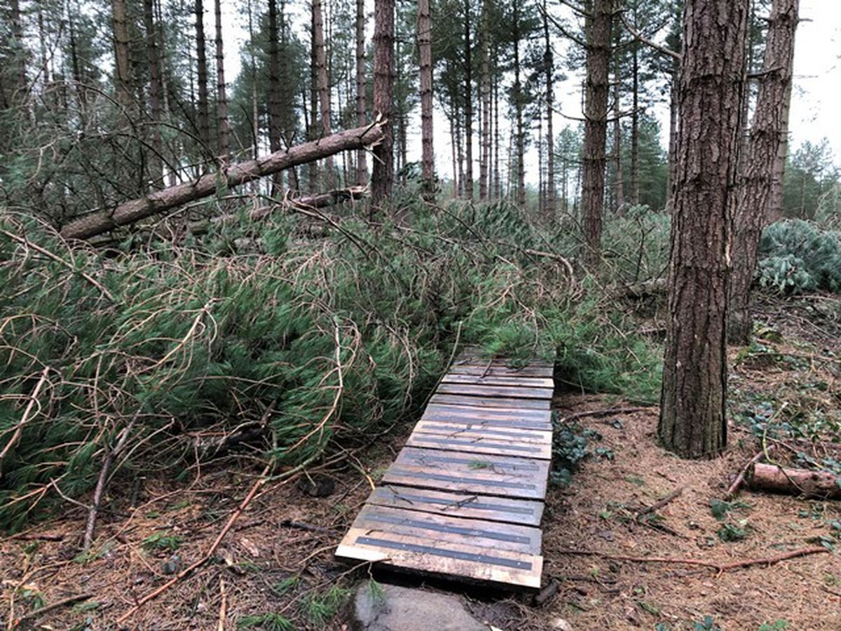 Trees on Cannock Chase have blown down
