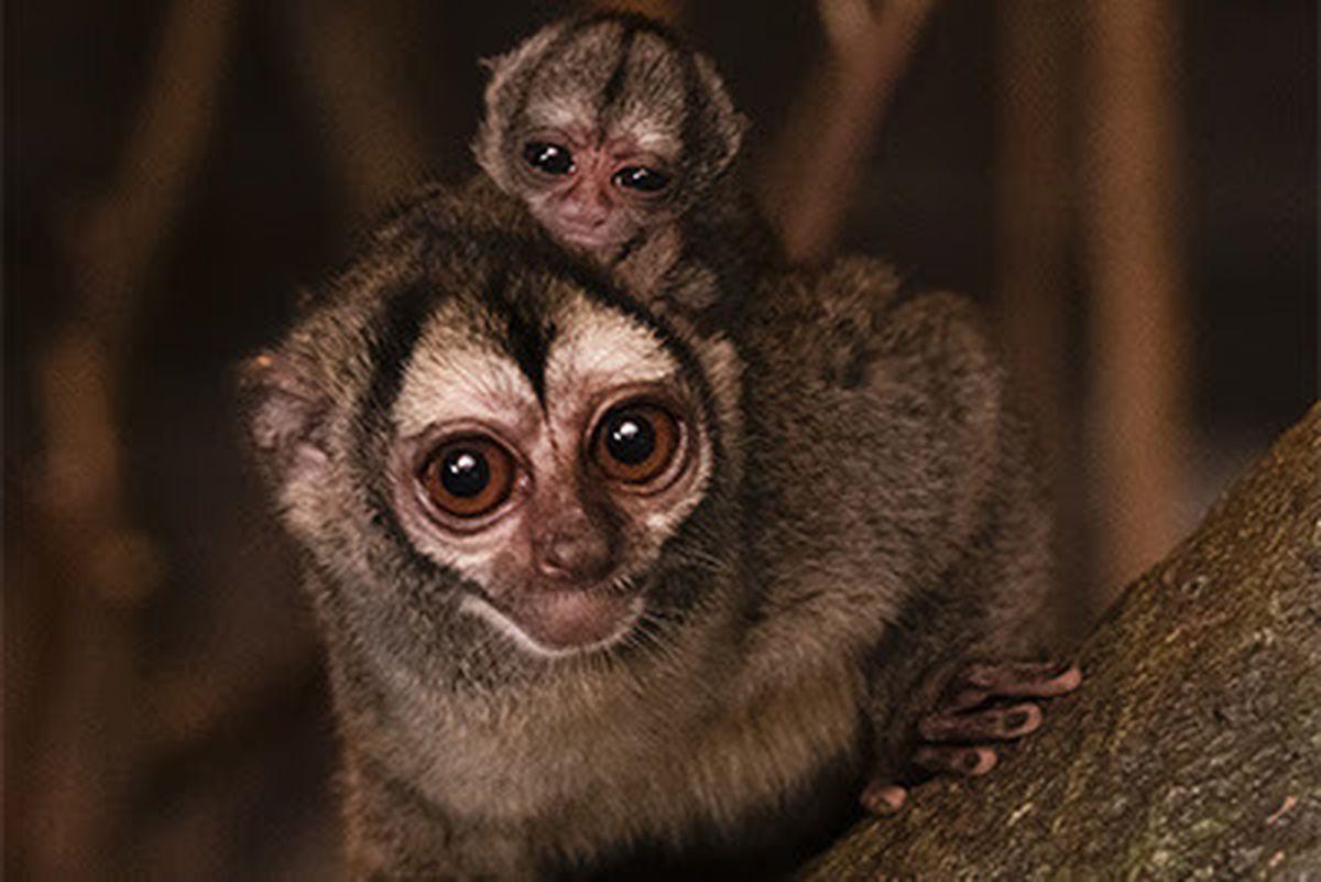 A tiny baby douroucouli has been born at West Midland Safari Park.