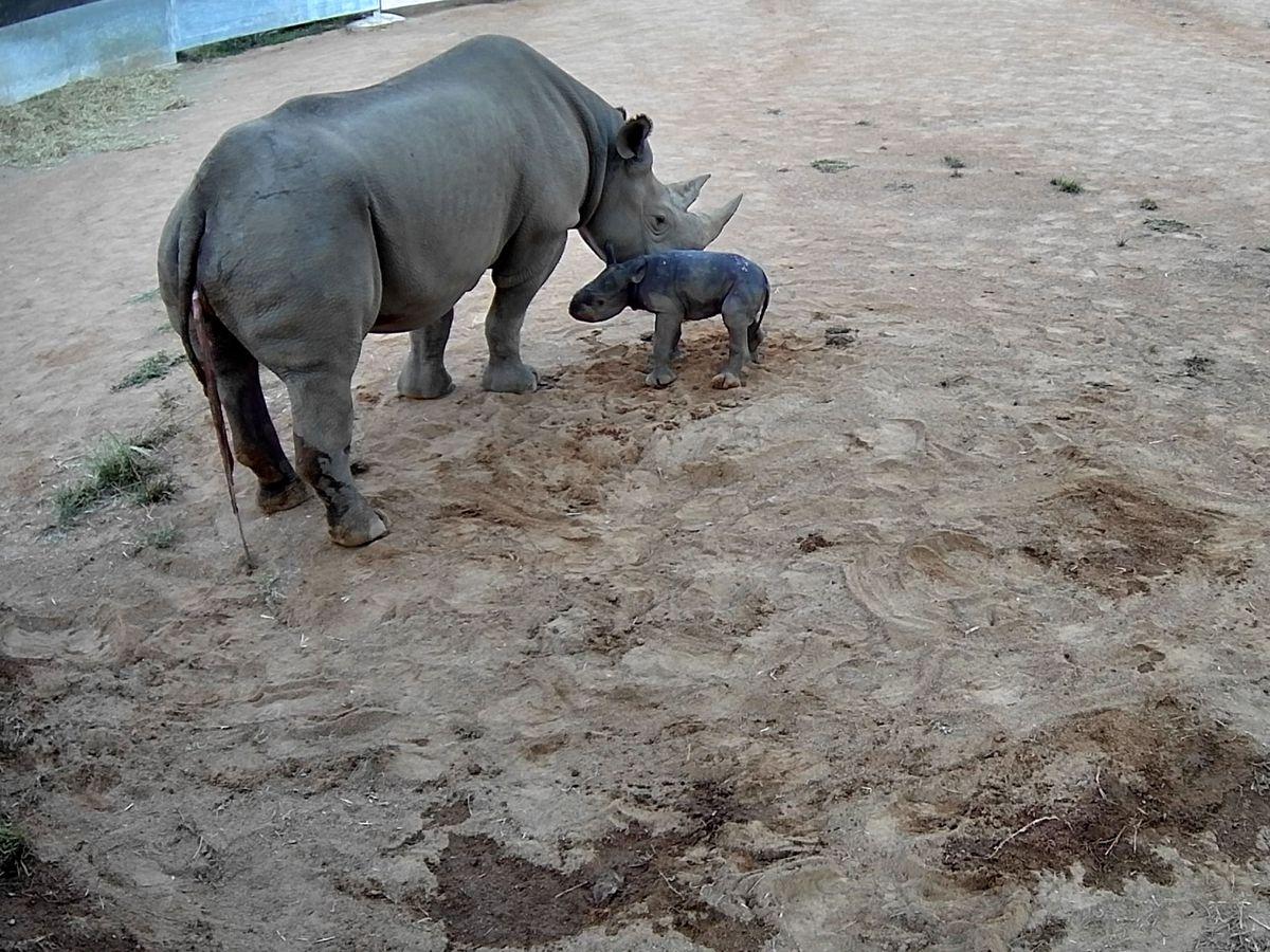 A black rhino calf born at Taronga Western Plains Zoo