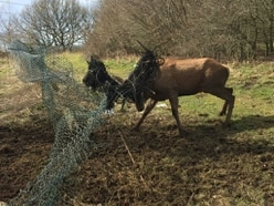Oh deer! Stag untangled after antlers stuck in fence at Cannock beauty spot