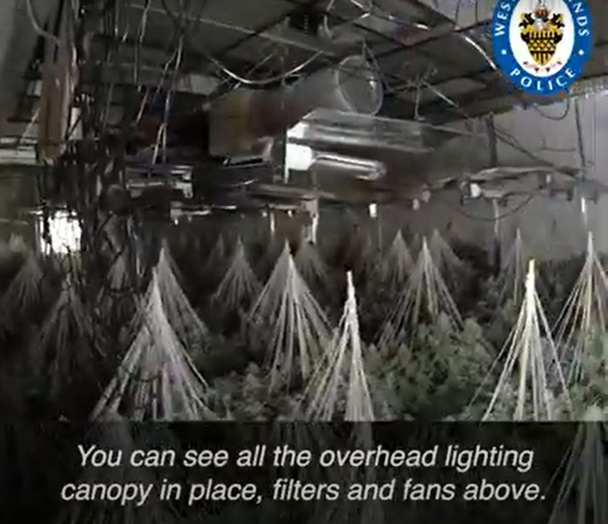 Some of the cannabis plants