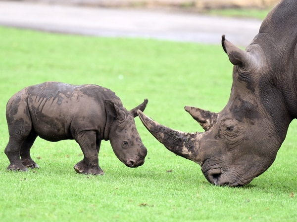 Horns of a dilemma for baby rhino