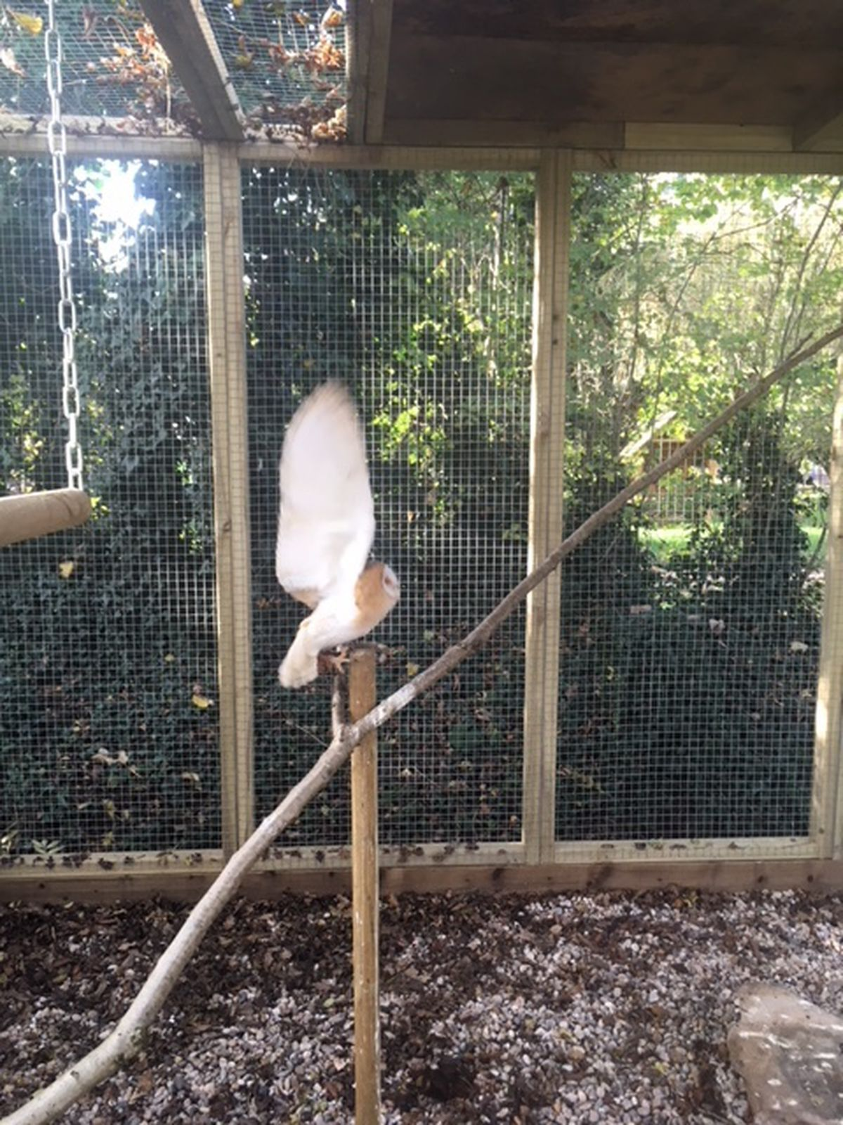 Luna the Barn Owl at the new animal enclosure set to open next year