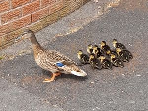 The mother and her ducklings