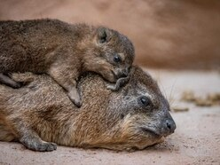 Rock hyrax triplets – the closest relative to elephants – born at Chester Zoo