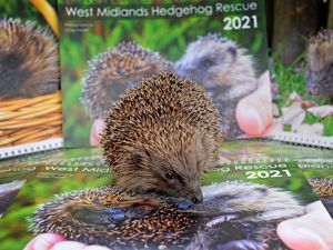 CANNOCK  COPYRIGHT TIM STURGESS EXPRESS AND STAR...... 10/11/2020... Launch of the Cheslyn Hay based  West midlands hedgehog rescue calendar for 2021. Pictured, chaity mascot Rosie checks out the pictures..