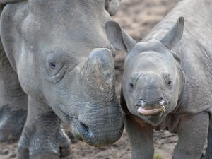 Three-month-old Asian Rhino Inesh with his mum Seto