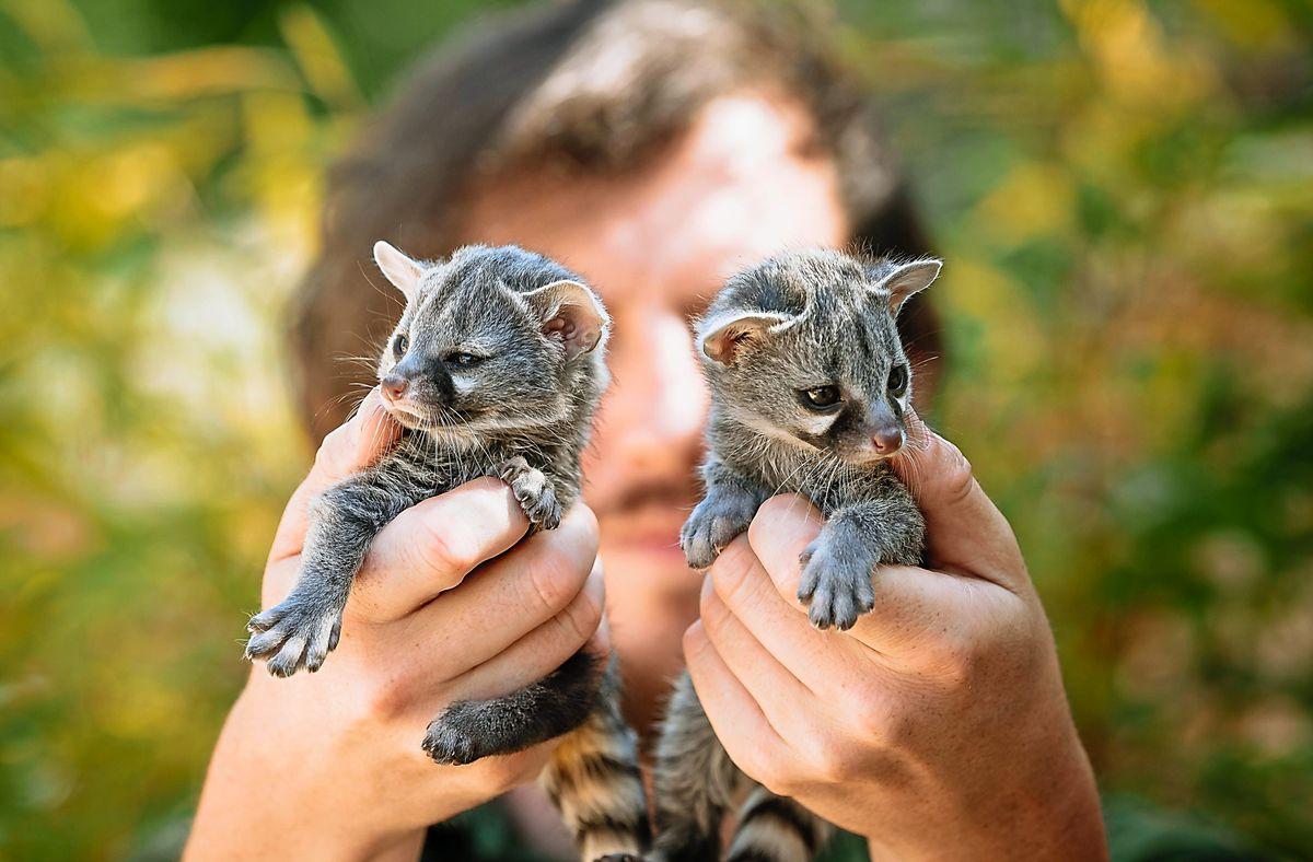 Baby genets born at Exotic Zoo