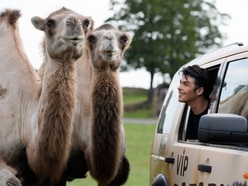 Union J's Jaymi Hensley gets up close and personal with resident camels at West Midland Safari Park - in pictures