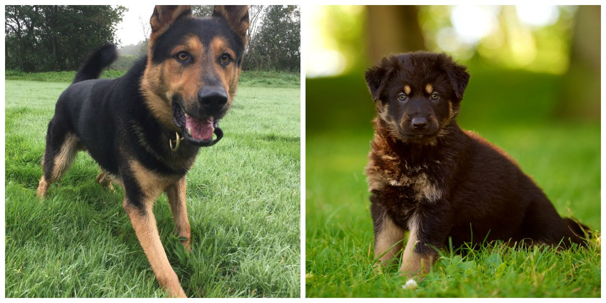 PD Gil now and as a puppy