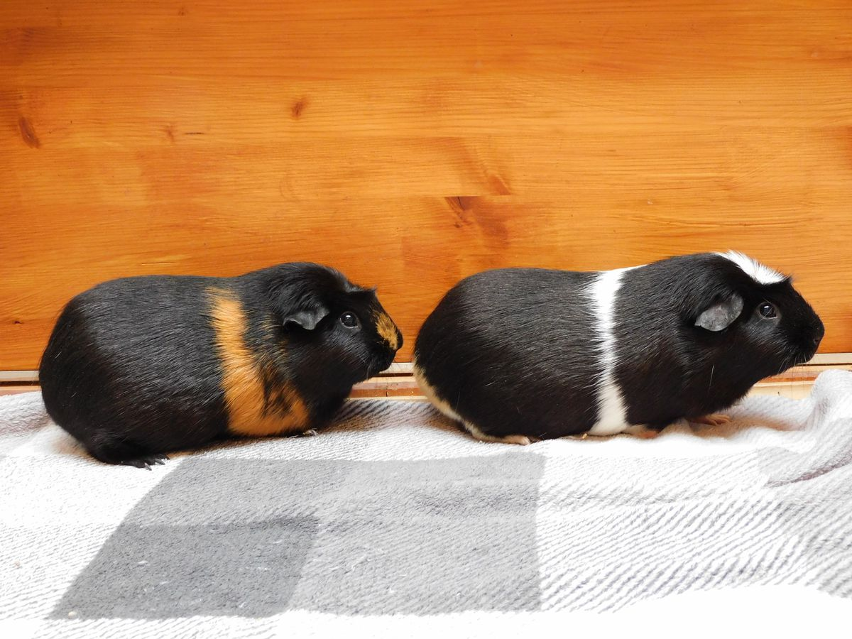 Gin, left, and Tonic, right, were abandoned in cardboard boxes. Photo: RSPCA