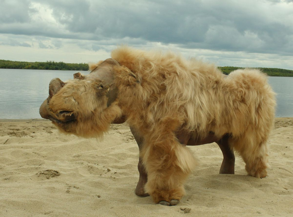 A preserved, reconstructed baby woolly rhinoceros