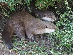 Newly arrived otters 'inseparable' as keepers hope for 'patter of tiny paws'