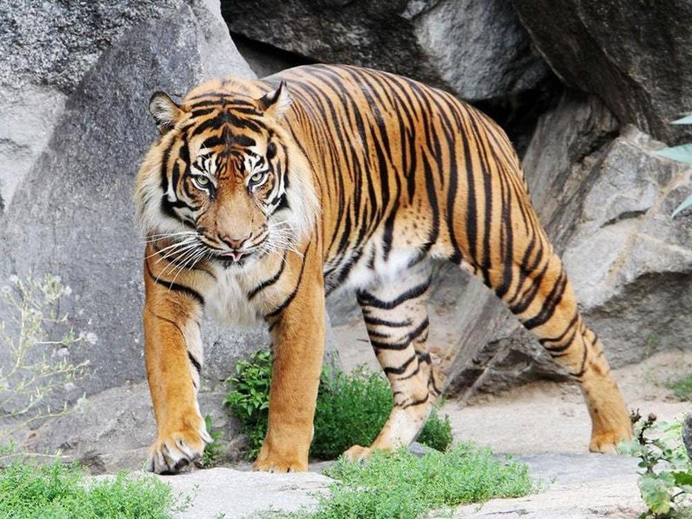 tiger - photo #32