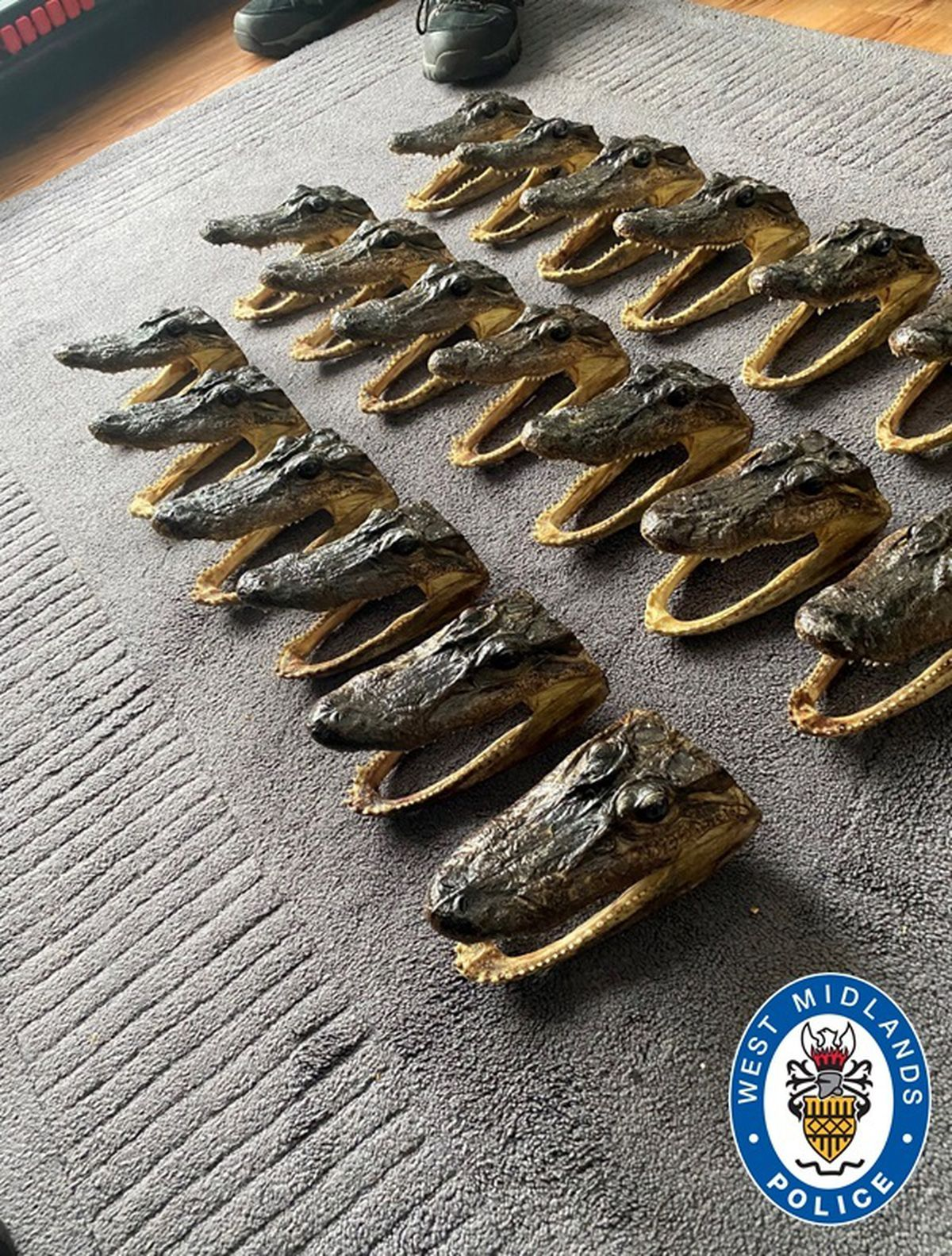 Some of the alligator heads seized in Perry Barr