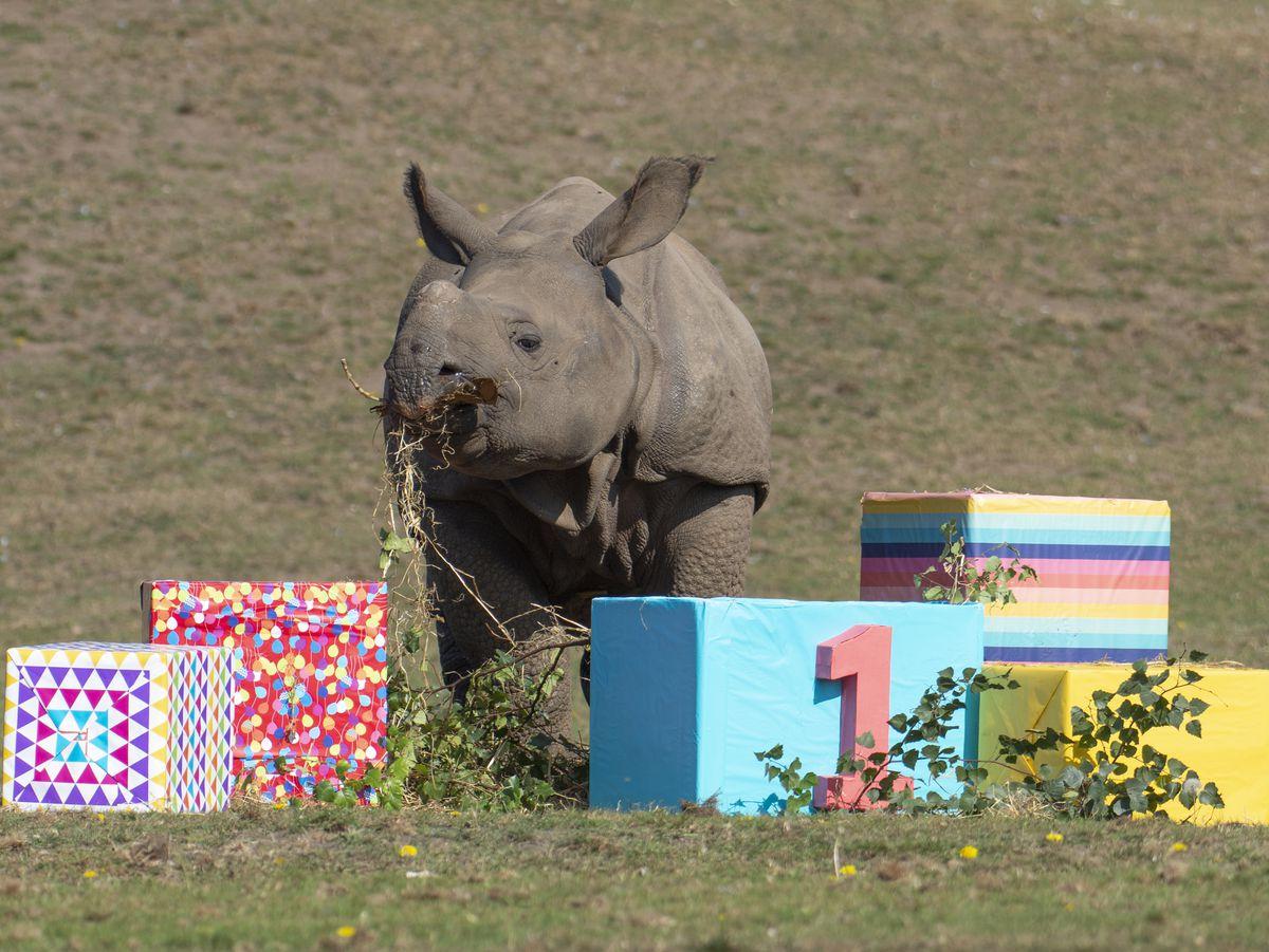 Inesh celebrates his first birthday at West Midland Safari Park