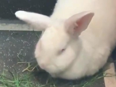 Rabbit hops on board for ride on London bus