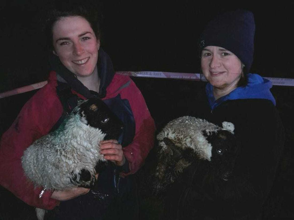 The lambs were returned to their owner