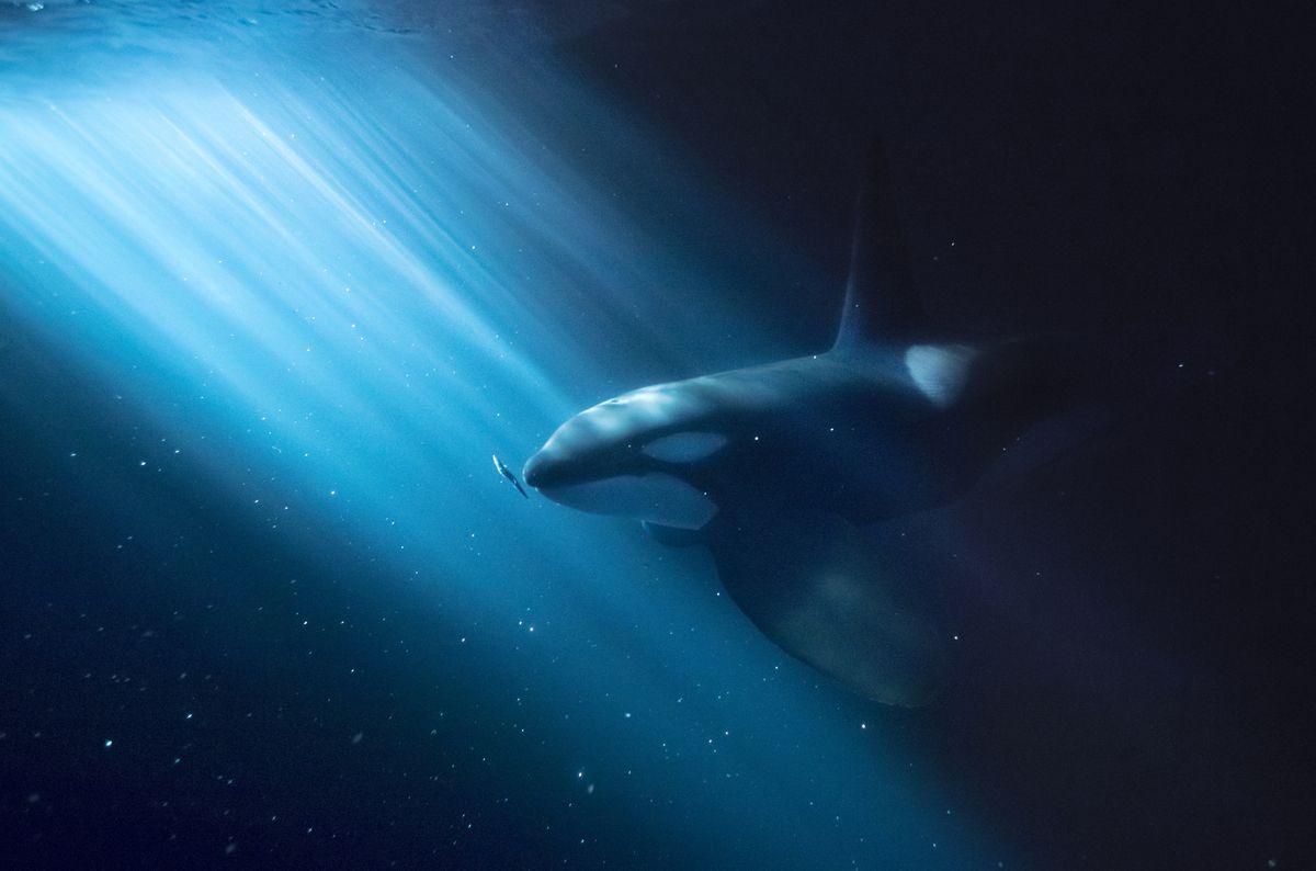 A killer whale in water in Kaldfjord, outside Tromsø, Norway. Photo: Audun Rikardsen