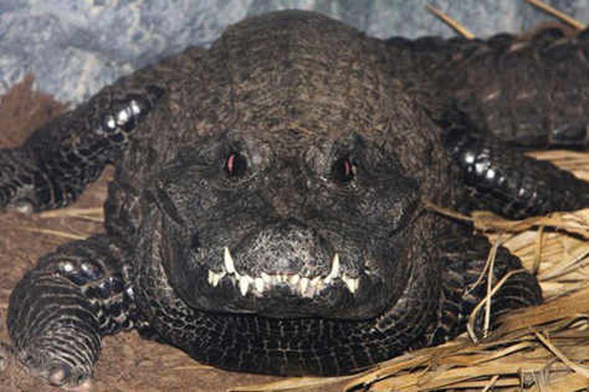 Crocodile Jordan hopes mate will snap to it