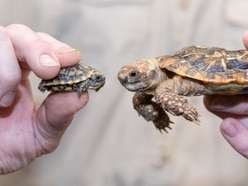 Tiny endangered pancake tortoise born at West Midland Safari Park