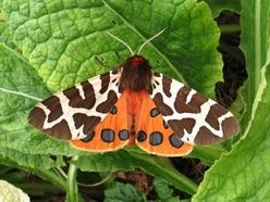 Lazy moths 'taste disgusting so put less effort into evading predators'