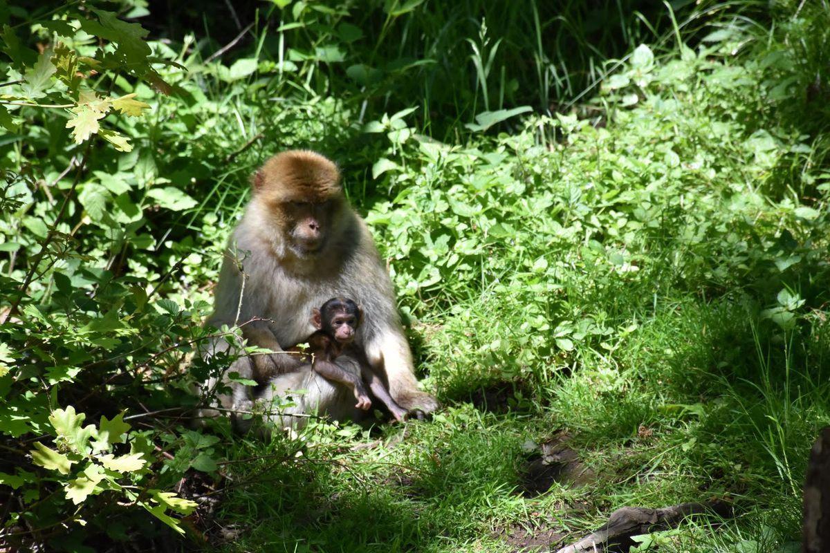 Neuf jeunes macaques de Barbarie sont nés dans la forêt des singes de Trentham pendant l'été