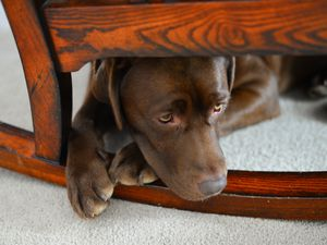 Sad chocolate lab puppy hiding under chair
