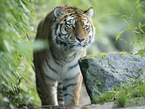 Valentina, an endangered female Amur tiger, who is the latest arrival at Marwell Zoo in Hampshire