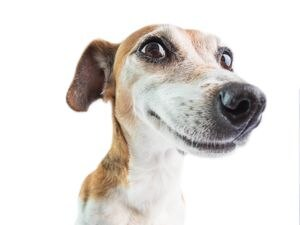 Jack Russell terrier enjoying life
