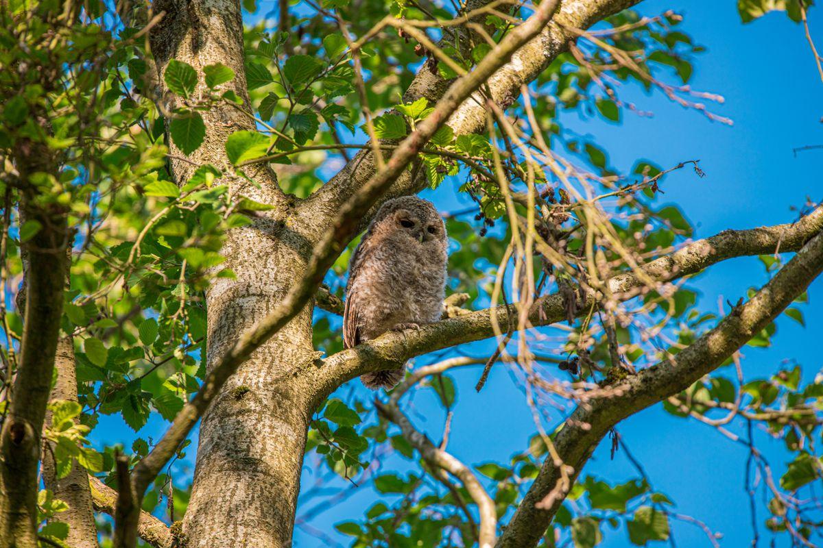 A tawny owlet. Taken by Steven Kendrick.