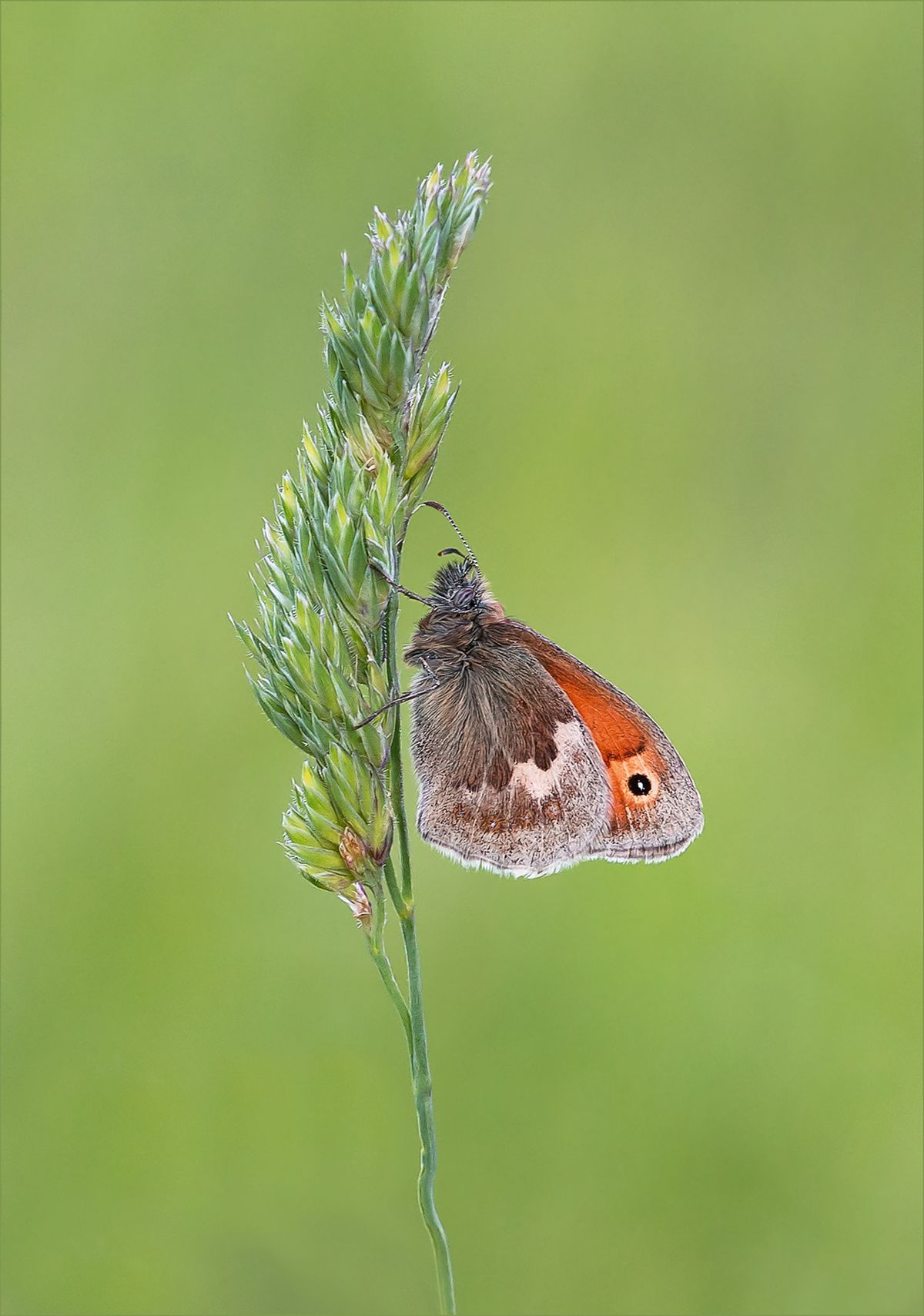 Darron's image of a small heath butterfly