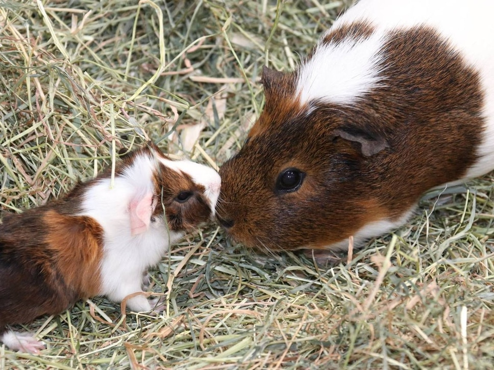 Four baby guinea pigs born at Dudley Zoo over Easter weekend