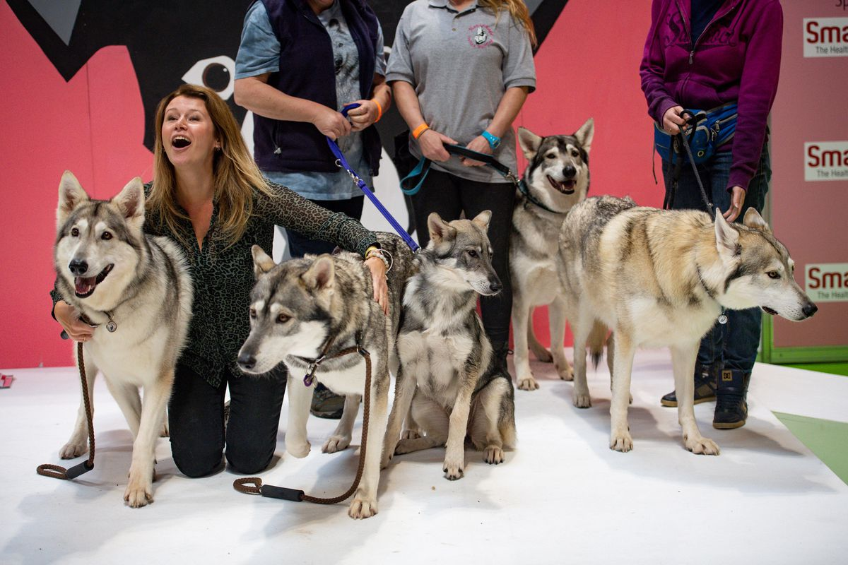 Alaskan Malamutes at the National Pet Show at the NEC, Birmingham. PA Photo. Picture date: Sunday November 3, 2019.  Photo credit should read: Jacob King/PA Wire.